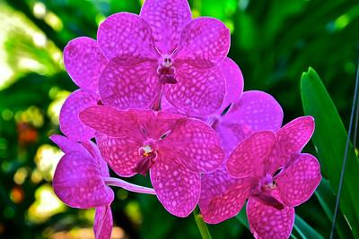 Ascda. Princess Mikasa, Pink orchid