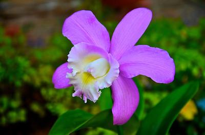 C. loddigesii orchid
