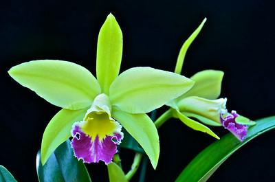 """Blc. Greenwich """"Elmhurst"""" orchid"""