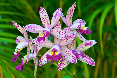 L.C. Tropical Pointer 'Cheeta' orchid