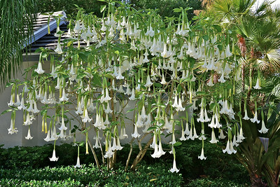 Angel's Trumpet tree