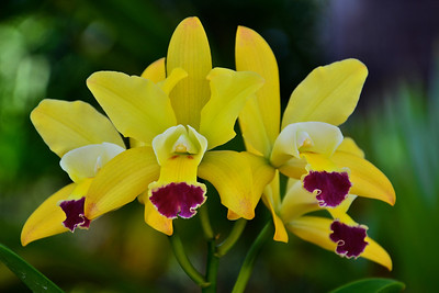 Pot. Paradise Beauty 'Golden Angel' ordhid