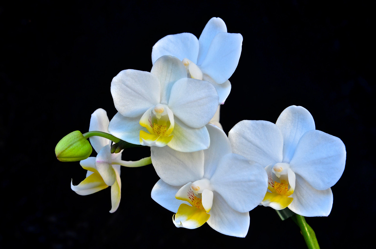 Phal. Timothy Christopher orchid
