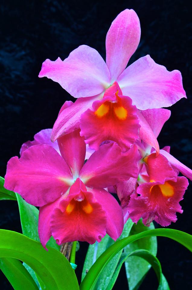 Pot. Koso's Scarlet 'Vi-Emi' orchid