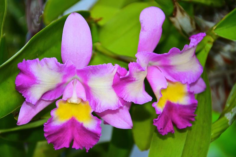 Blc. Momilani Rainbow orchid