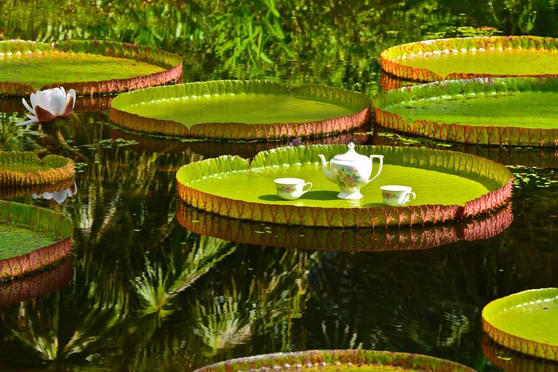 Victoria amazonica Waterlily pad