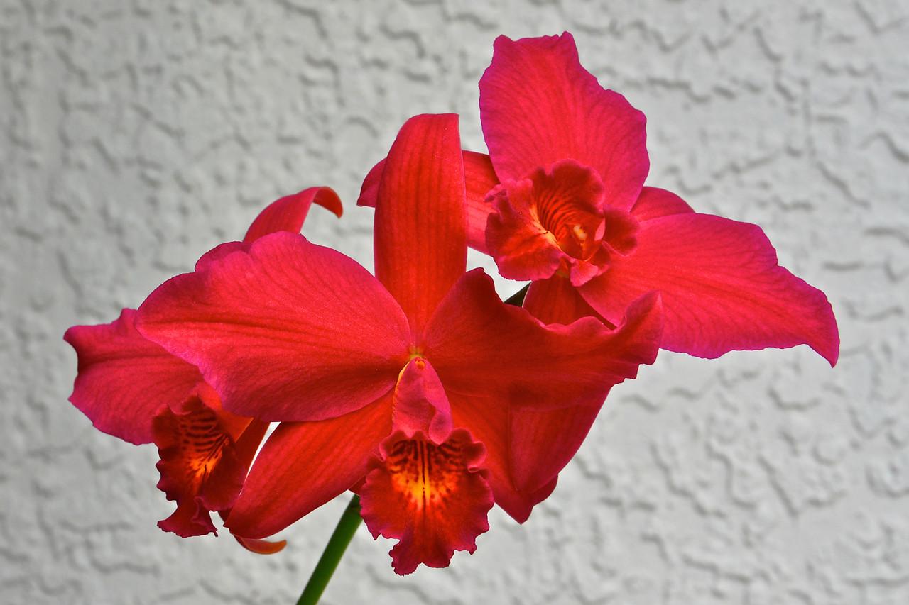 Slc. Hsin Buu Lady 'YT Beauty' orchid