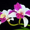 Lc. Purple Cascade 'Sweet Beauty' orchid