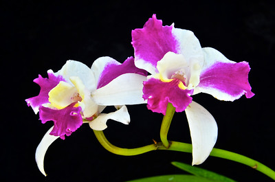 Lc. Purple Cascade 'Sweet Beauty' orchid