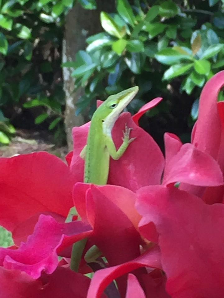 We think it is the Geico Gecko enjoying the orchids.