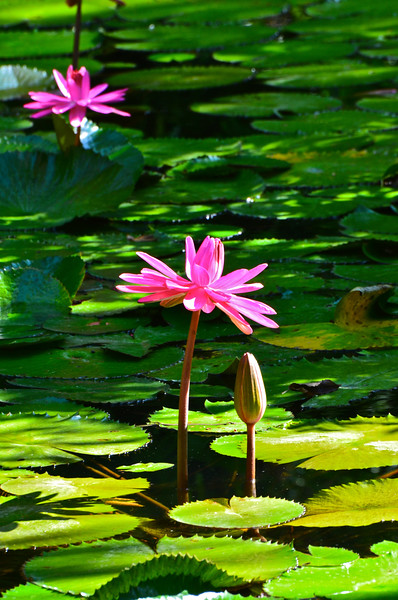 McKee Botanical Garden in Vero Beach has one of Florida's largest collections of waterlilies located within its Old Florida Coastal habitat.