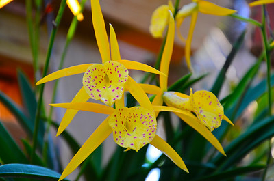 Bc. Yellow Bird orchid