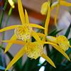 Bc. Yellow Bird orchid