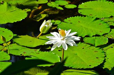 Nymphaea Alba waterlily
