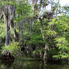 Cypress trees in the Everglades wetlands along the Tamiami Trail.