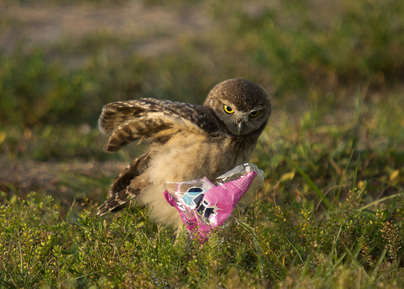 Burrowing owl parents frequently bring bits of garbage near the burrow's opening for the owlets to practice their hunting skills, as this one is demonstrating.