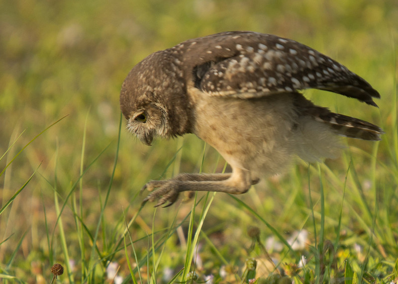 Pounce! This owlet is practicing hunting skills.
