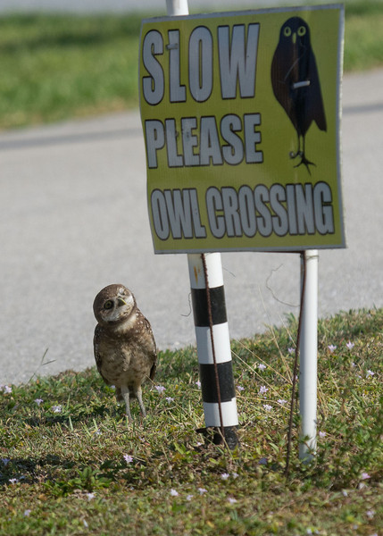 Now this little owlet knows where it can cross the road.