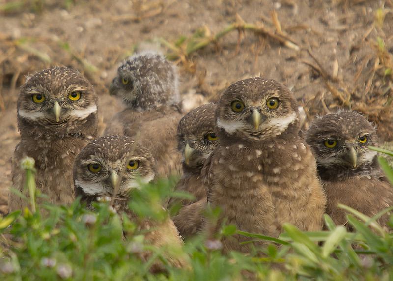 And then there were six. I only thought there were five owlets at this site until I observed bright eyed Nervous Nellie peeking back at me.
