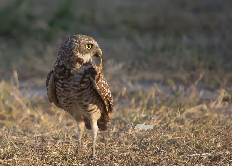 Burrowing owl in profile-Cape Coral