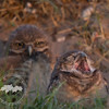 Ready for Bed- Fledgling burrowing owls in Cape Coral.
