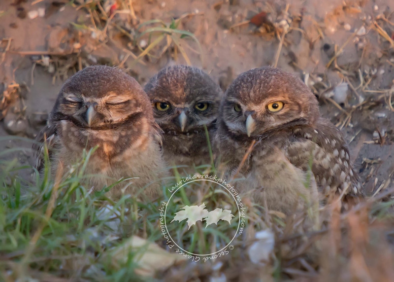 Three Wise Owls-Fledgling burrowing owls in Cape Coral.
