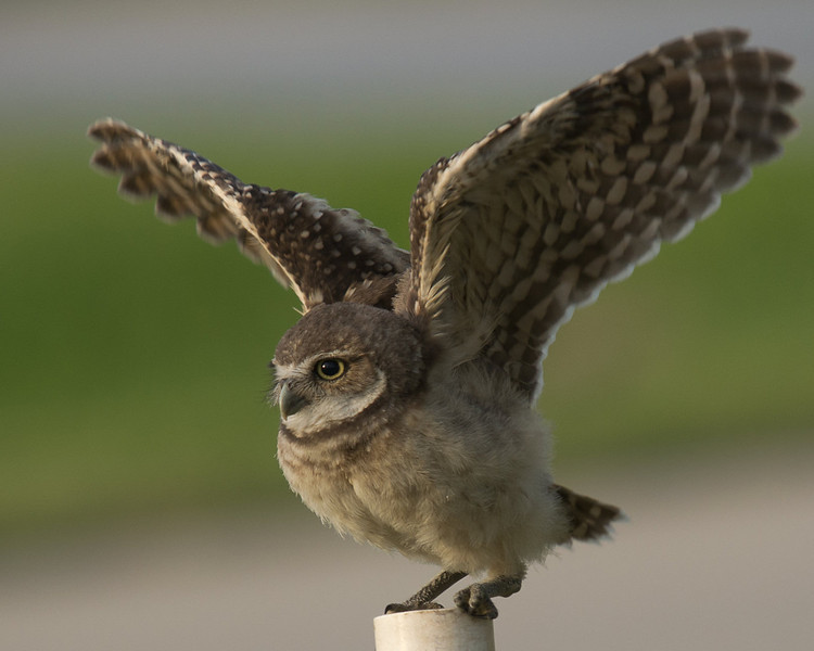 Burrowing owlet branching (stretching and exercising its wings) in Cape Coral, FL