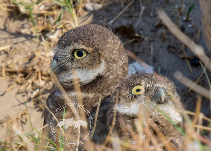 Look!  A Plane!- Fledgling burrowing owls in Cape Coral.