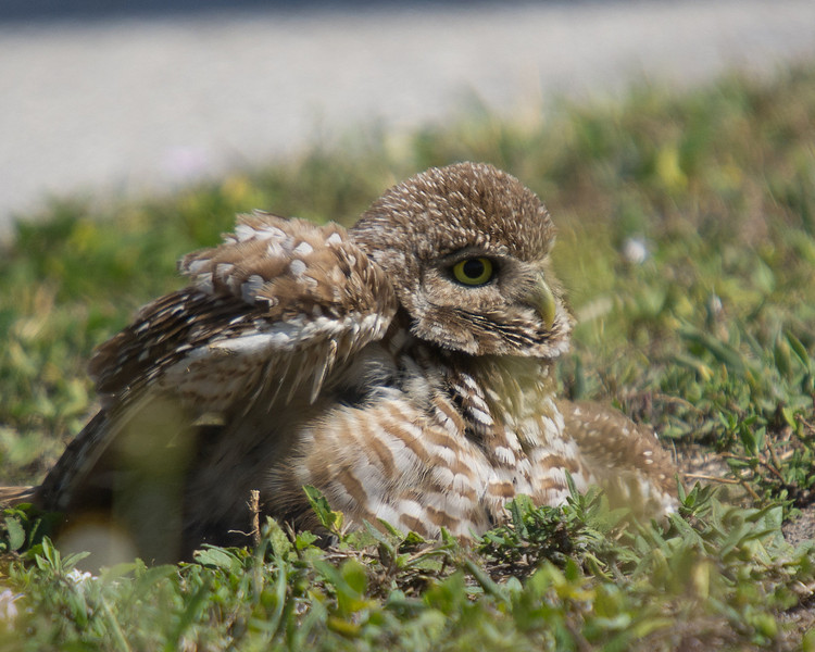 This adult/parent burrowing owl found a small patch of sand and used it like a bird bath. It spent several minutes wriggling around in the sand kept dipping its head and body into the sand and shaking vigorously.