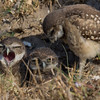 Mom! Billy's touching me again! -Fledgling burrowing owls in Cape Coral.