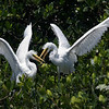 Sparring Great Egret Siblings