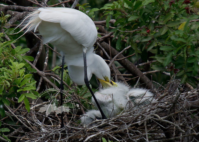 Great egret feeding chicks at the Venice Rookery.