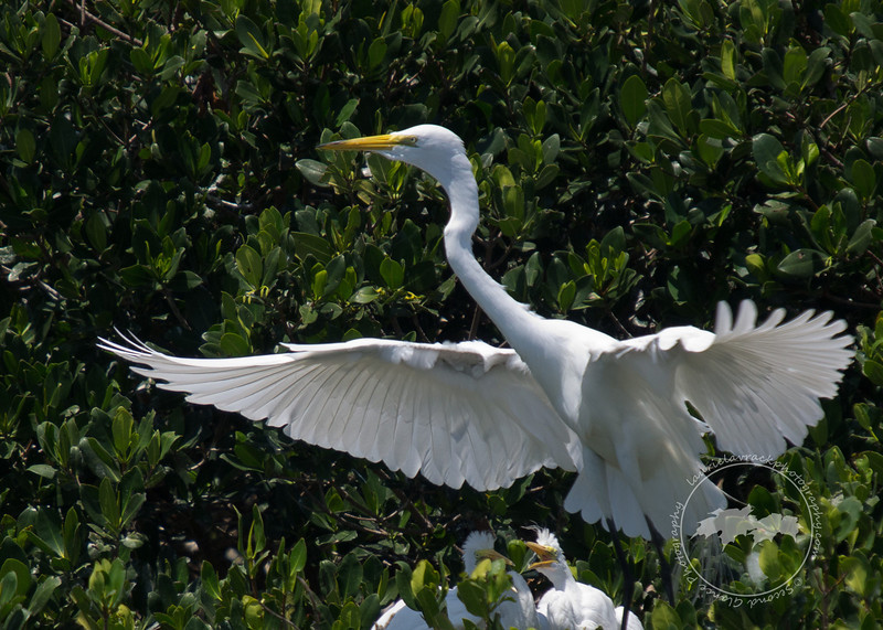 I'm Outta Here-Adult great egret preparing to leave aggressive hungry chicks behind.