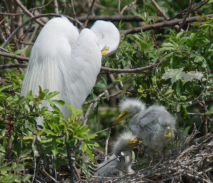 Preening great egret parent with 3 chicks at the Venice Rookery.