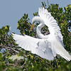 Nest Building #2-Great egret at the Tarpon Bay Preserve.