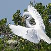 Nest Building #2-Great egret at the Tarpon Bay Preserve.