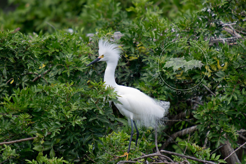 Snowy egret with mating plumage at the Venice Rookery.