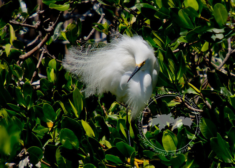 Showing Off-Snowy egret in the Tarpon Bay Preserve.