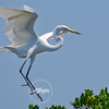 Coming in for a Landing-Great egret at the Tarpon Bay Preserve.