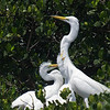 Where's My Dinner? Great egret family at the Tarpon Bay Preserve.