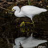 Little egret hunting in ditch alongside Six Mile Cypress Parkway.