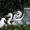 Waiting for a Free Lunch-Juvenile great egrets at the Tarpon Bay Preserve.