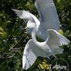 Snowy egrets-Tarpon Bay Preserve
