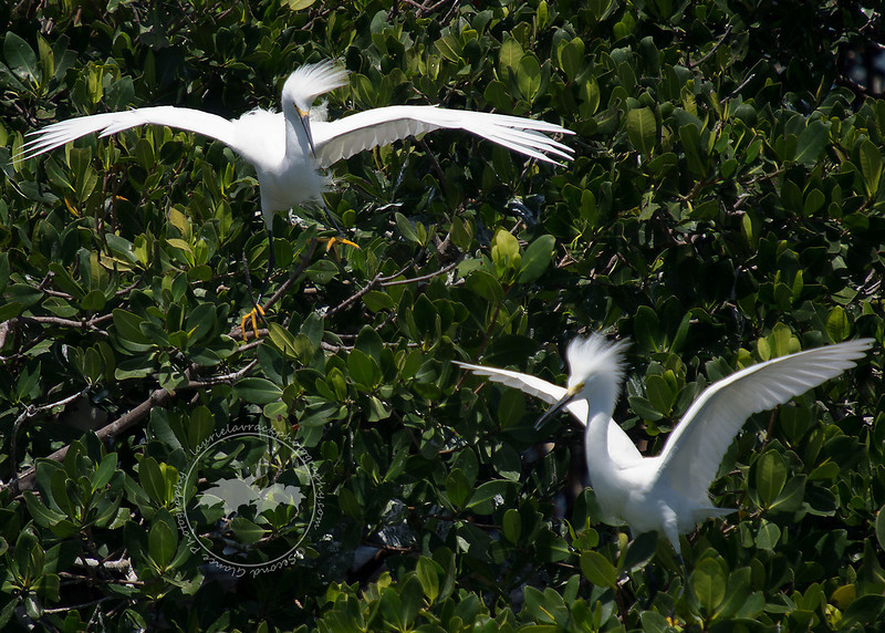 Sparring snowy egrets at the Tarpon Bay Preserve.