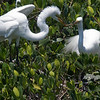 Nest Building-Great egrets at the Tarpon Bay Preserve