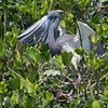 Tricolored heron at the Tarpon Bay Preserve with breeding plumage and enhanced color on beak.