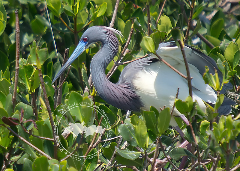 Blue Bill-Tri-colored heron with mating plumage and enhanced beak color at the Tarpon Bay Preserve.