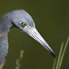 Little Blue Hunter-Little blue heron at Lakes Park.