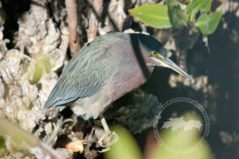 Green heron near nest site at the Venice Rookery.