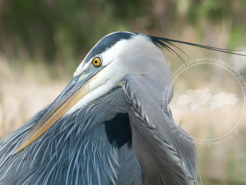 Close up of previous shot of a great blue heron at Lakes Regional Park.